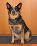 Australian Cattle Dog Abby